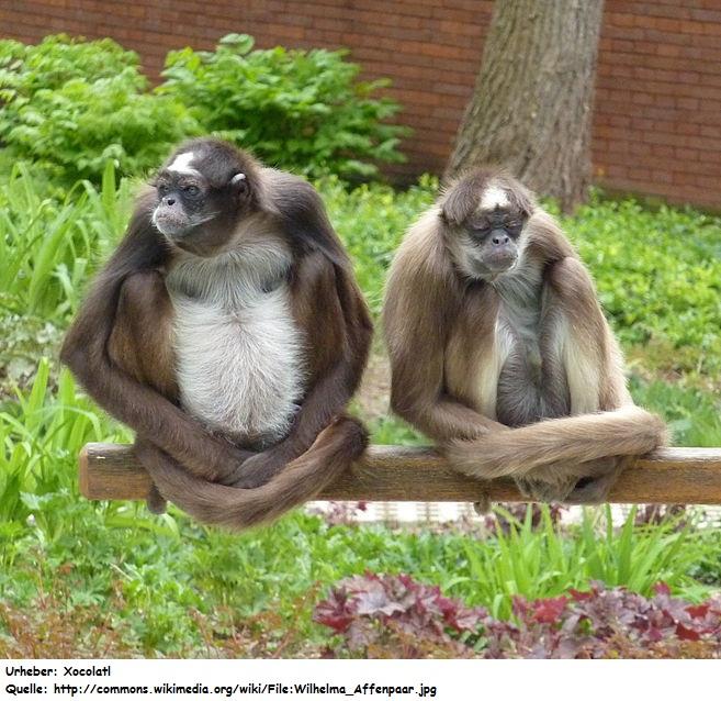 Affen in Panama | Panama-info net